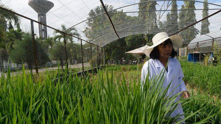 Le Vietnam est le second exportateur de riz au monde. (AFP)