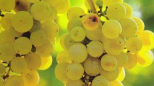 Bas-Rhin : le succès d'un vin sans alcool (France 3)
