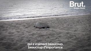 VIDEO. En Nouvelle-Calédonie, une association au secours des tortues marines (BRUT)