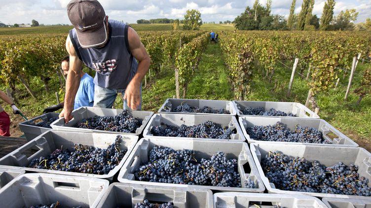 Un saisonnier sur une exploitation viticole, lors des vendanges, en Gironde, en septembre 2015. (PHILIPPE ROY / PHILIPPE ROY)