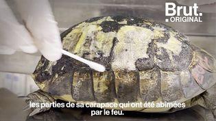 VIDEO. Dans le Var, de nombreuses tortues blessées par les incendies sont recueillies (BRUT)