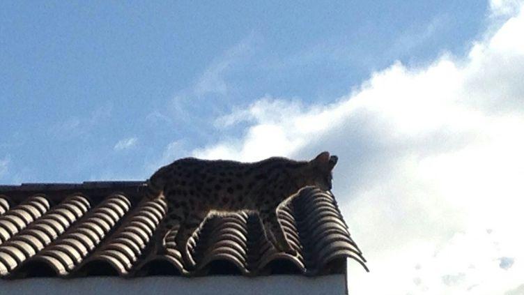 Le chat confondu avec un léopard, photographié le 3 mars 2018 par la gendarmerie à Juvignac (Hérault). (GENDARMERIE DE L'HERAULT)