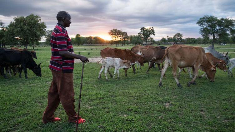 Un homme surveille le bétail et le ciel dans un champ dans le district de Kilosa, en Tanzanie, le 15mars 2017. (Daniel Hayduk/AFP)