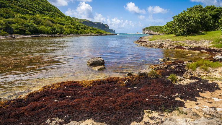 Des sargasses sur le littoral de la Guadeloupe. (BRUSINI AURELIEN / HEMIS.FR)