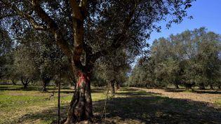 """Des oliviers infestés par la bactérie """"Xylella fastidiosa"""" sont marqués d'une croix rouge, le 13 avril 2015 à Oria (Italie). (GAETANO LO PORTO / AP / SIPA)"""