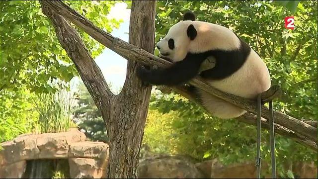 Huan Huan n'est finalement pas enceinte