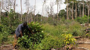 Un producteur de cacao s'occupe de plants de cacaoyers, le 22 mai 2016, à Guiglo en Côte d'Ivoire. (LUC GNAGO / REUTERS)