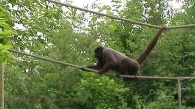 Vol de singes au zoo de Beauval : les autres zoos français inquiets