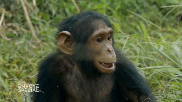 Envoyé spécial. Quand Naseka, un jeune chimpanzé rescapé des braconniers, découvre la liberté