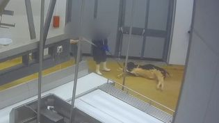 L'associationL214 dénonce les conditions d'abattage des veaux dans un abattoir de Dordogne. (ASSOCIATION L214)