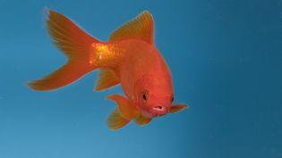 Un poisson rouge dans un aquarium, le 21 août 2014. (KONRAD WOTHE / MINDEN PICTURES / AFP)