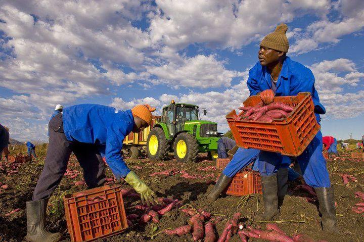 Des ouvriers agricoles travaillent dans une ferme de Brits près de Prétoria le 23 Juin 2009 (Photo AFP François Xavier Marit)