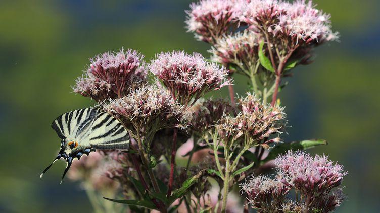 Le papillon Apollon est une espèce protégée inscrite sur liste rouge. (MAXPPP)