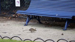 """Josette Benchettrit dénonce la """"persécution des rats"""" de Parisalors que la ville s'est lancée dans une campagne de dératisation. (FRANCOIS MORI/AP/SIPA / AP)"""