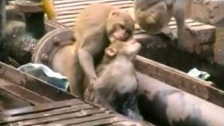 Capture d'écran d'une vidéo montrant le sauvetage d'un singe électrocuté par un autre singe, le 20 décembre 2014, à Kanpur (Inde). ( REUTERS / FRANCETV INFO)