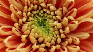 Fleur de chrysanthème. (MATT CARDY / GETTY IMAGES EUROPE)