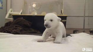 Un ourson polaire du Zoo de Toronto (Canada) fait ses premiers dans un vidéo postée par l'établissement, le 8 janvier 2014. (ZOO DE TORONTO / FRANCETV INFO)