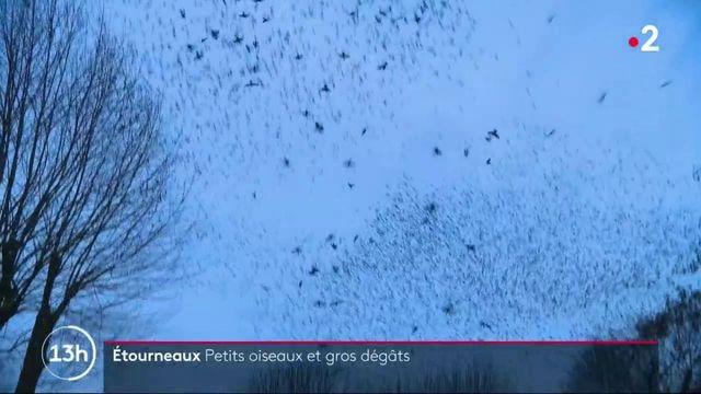 Indre-et-Loire : son jardin est envahi par des milliers d'étourneaux