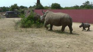 Animaux : une femelle rhinocéros blanc est née dans parc animalier de Peaugres en Ardèche (France 3)
