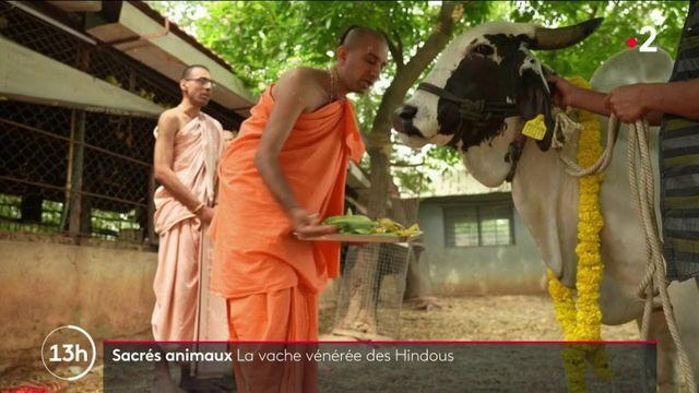 Animaux sacrés : les vaches, le trésor vénéré des Hindous
