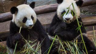 Huan Huan, panda femelle (à droite), et son fils Yuan Meng (à gauche), au zoo de Beauval, dans le Loir-et-Cher, le 26 août 2019. (GUILLAUME SOUVANT / AFP)