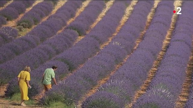 Alpes-de-Haute-Provence : la lavande en pleine floraison
