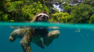 Un paresseux nain au Panama. (BBC)
