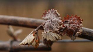 Image prise le 17 avril 2021 d'un pied de vigne endommagé par le gel à Montagnac dans l'Hérault. Les agriculteurs et les vignerons ont subi d'importants dégâts dans leurs cultures. (SYLVAIN THOMAS / POOL / AFP)