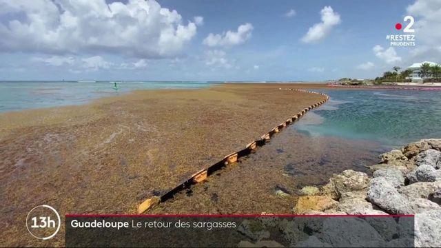 Aux Antilles, En plus du Covid-19, les algues sargasses sont de retour en masse sur le littoral. Une mauvaise nouvelle pour les professionnels du tourisme, et pour toutes celles et ceux qui prévoyaient de profiter des plages guadeloupéennes.