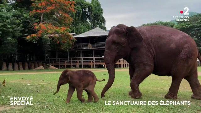 Envoyé spécial. Le sanctuaire des éléphants