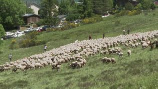 Gard : la transhumance démarre sur fond d'inquiétudes des éleveurs (FRANCE 2)