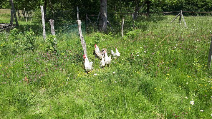 Les poules et les coqs d'Eléonore Fink ont fait fuir des touristes. (BENJAMIN MATHIEU / FRANCEINFO)
