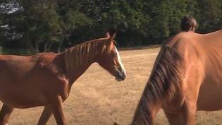 Les cas de chevaux mutilés se sont multipliés ces dernières semaines. Les animaux sont retrouvés avec des oreilles découpées. Dernièrement, une pouliche a été retrouvée morte près de Cluny (Saône-et-Loire). (FRANCE 3)