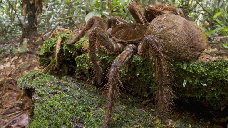 Une araignée Goliath rencontrée par l'entomologiste Pitor Naskrecki lors d'un séjour au Surinam, en 2014. (PIOTR NASKRECKI / AFP)
