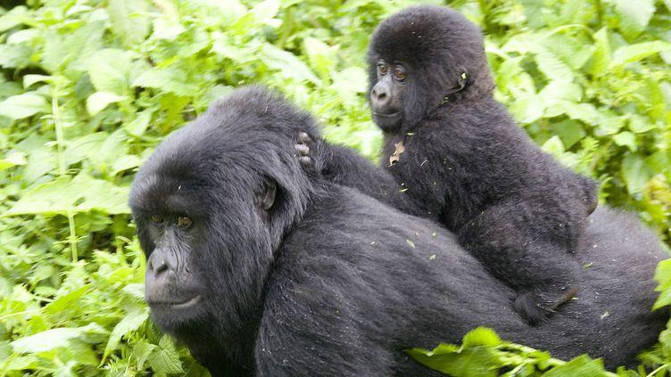Un bébé gorille sur le dos de sa mère dans le Parc national des Virunga, à l'Est de la RDC.    (Peter Andrew / Reuters)