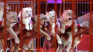 37e festival international du cirque de Monte-Carlo au chapiteau de Fonvieille le 17 janvier 2013. (ERIC DULIERE / MAXPPP)