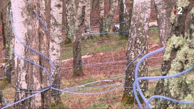 Ariège : la récolte de la sève de bouleau débute avec quelques semaines d'avance