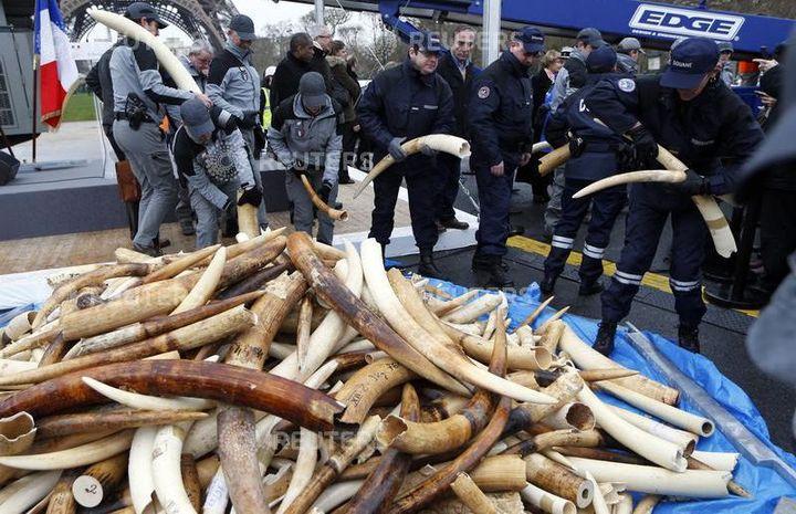 Paris, le 6 février 2014. Des douaniers français s'apprêtent à détruire trois tonnes de défenses d'éléphants saisies. (Photo Reuters)
