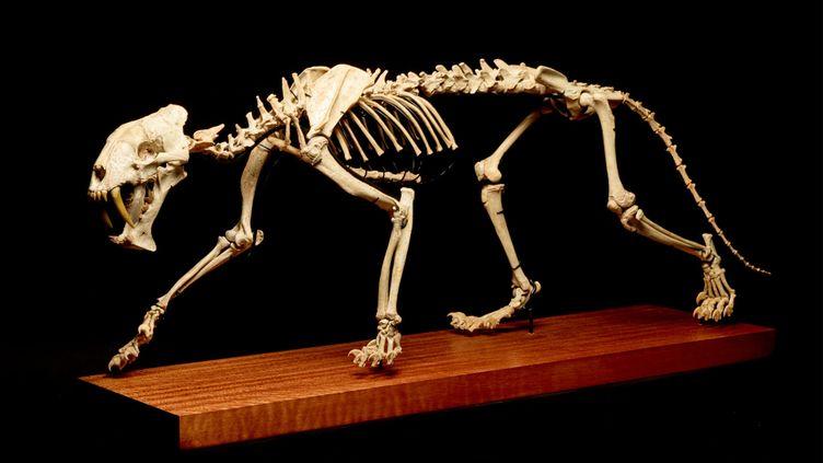 Le squelette dutigre à dents de sabre, vendu aux enchères à Genève, le 8 décembre 2020. (PIGUET / HÔTEL DES VENTES)