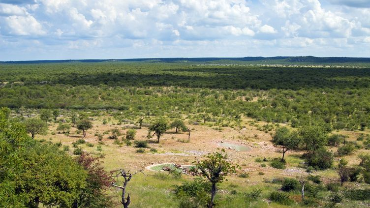 """Une """"mer"""" d'acacias dans la réserve d'Ongava en Namibie. (NICO TONDINI / ROBERT HARDING PREMIUM)"""