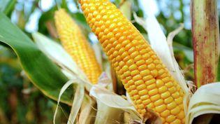 La proposition de loi débattue à l'Assemblée à partir du 14 avril 2014 prévoit d'interdire la culture de maïs OGM sur le territoire français. (PHILIPPE HUGUEN / AFP)