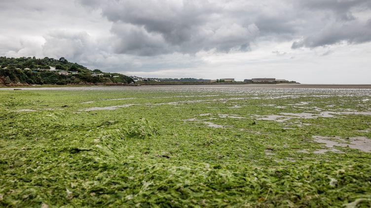 Marée verte dans la baie de Saint-Brieuc (Côtes-d'Armor). (BAPTISTE ROMAN / HANS LUCAS)