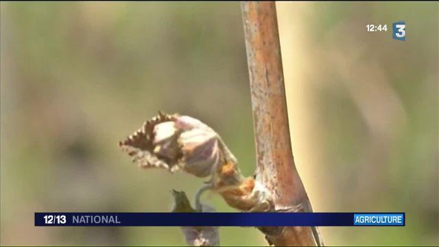 Vignobles : à cause du gel, les récoltes de Loire et de Bourgogne souffrent