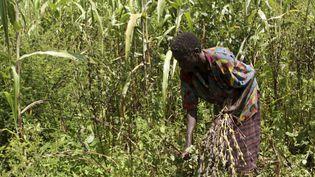 Une agricultrice travaille dans son champ de blé près de Lira (Ouganda) le 11 novembre 2009. (REUTERS - HUDSON APUNYO / X01959)