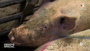 Jambon de Parme : une vie de cochon ! (ENVOYÉ SPÉCIAL  / FRANCE 2)