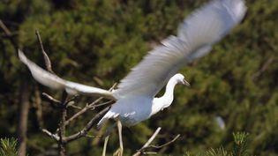 """Une aigrette garzette survole,le 5 juillet 2001, la """"héronnière"""" du parc ornithologique du Marquenterre, en baie de Somme. (FRANCOIS LO PRESTI / AFP)"""