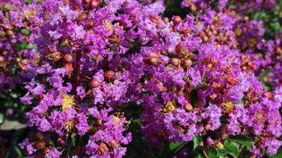 Le lilas des Indes est à planter maintenant (ISABELLE MORAND / DESMARTIS / RADIO FRANCE / FRANCE INFO)