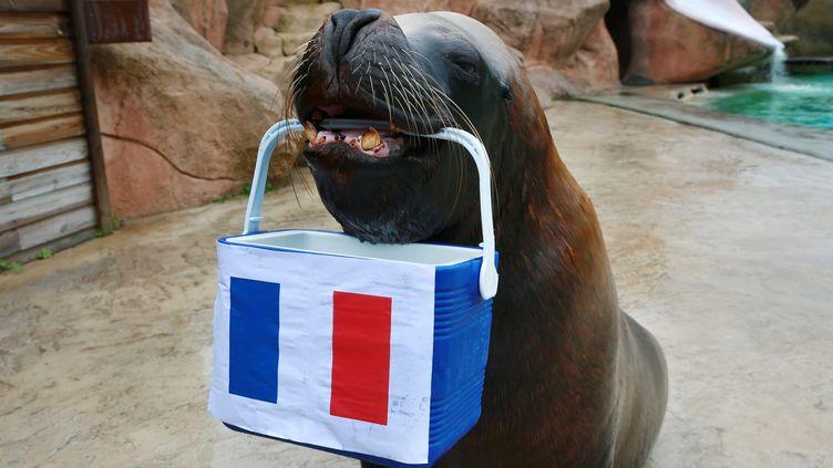 L'otarie Watson, du zoo d'Amnéville (Moselle) a l'habitude de donner ses pronostics pour les compétitions de foot. (MAURY GOLINI / MAXPPP)