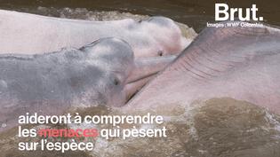 Une première scientifique pour sauver les dauphins roses (BRUT)