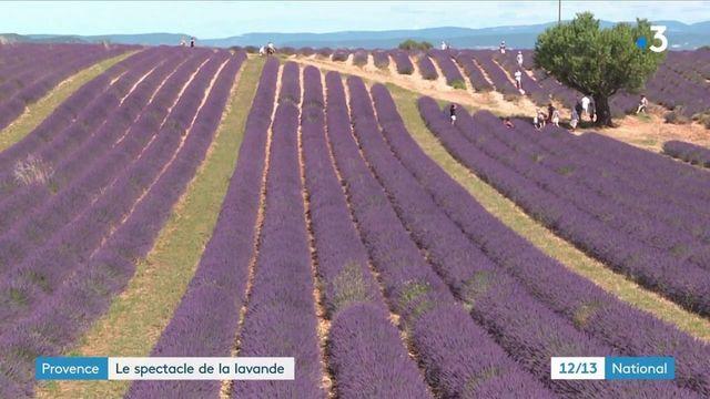 Provence : les champs de lavande attirent les touristes